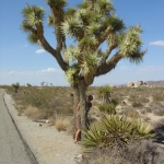 Iva a Joshua tree